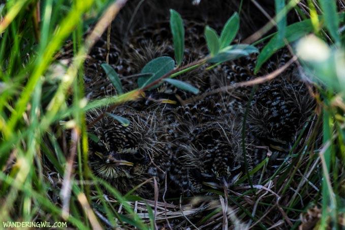 nido-pulcini-WanderingWil