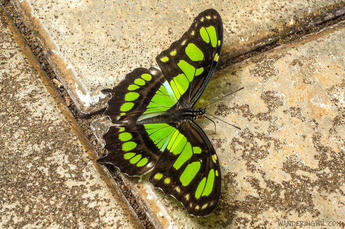 farfalla-3-wandering-wil