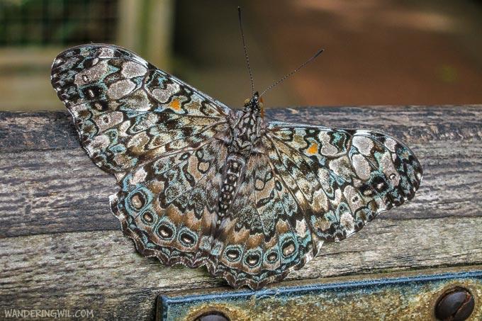 farfalla-4-wandering-wil