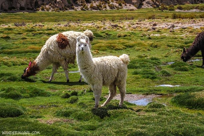 alpaca-wandering-wil