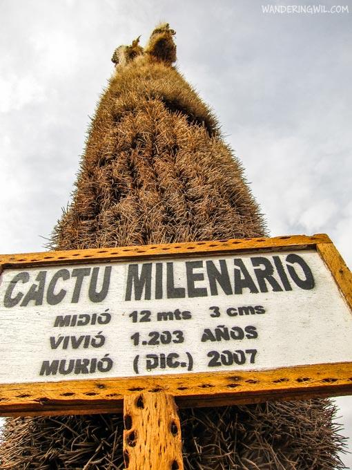 cactu-milenario-wandering-wil